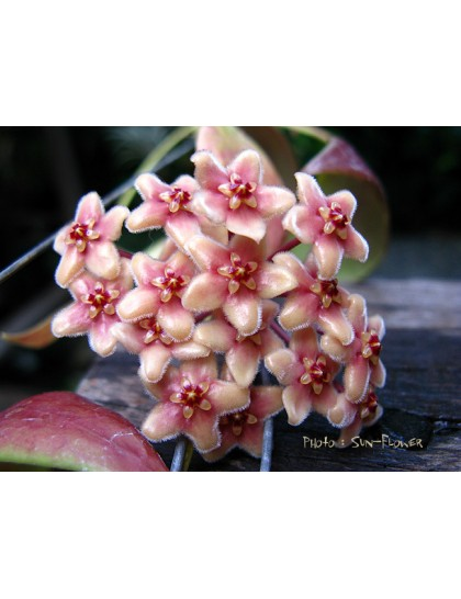 Hoya flavida ( rooted cutting )